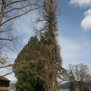 alter Baum in Bodman